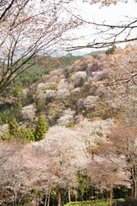 上千本の桜
