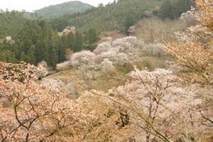 奥千本の桜