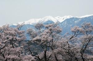 高遠城址公園の桜1