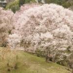 中千本の桜